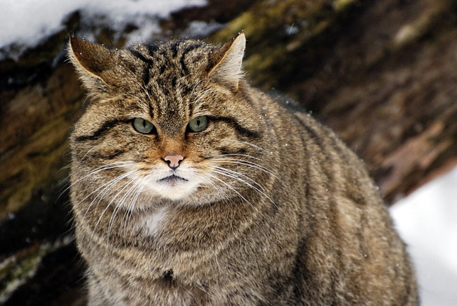 Изменить образ жизни дикой кошки крайне сложно