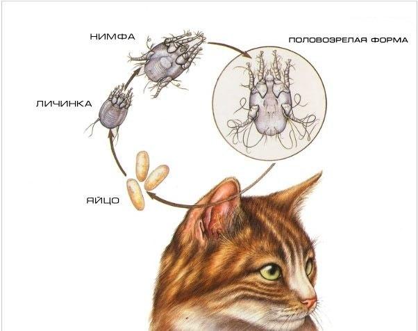 Из-за наличия клещей и блох у кошки нарушается целостный шерстяной покров