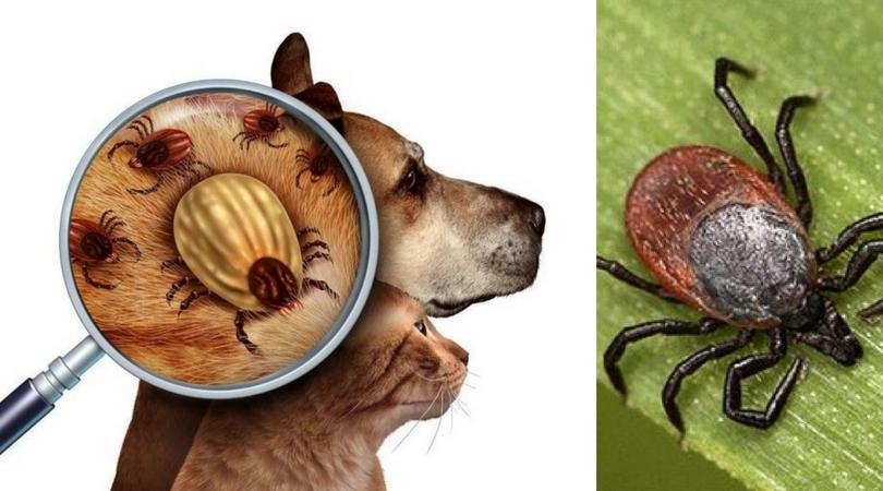 Иксодовый клещ - один самых опасных и страшных паразитов