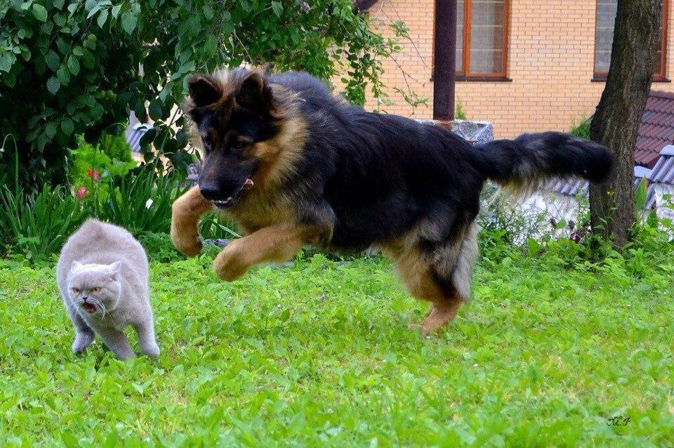 Иногда собаки начинают гнаться за кошкой лишь потому, что увидели движущуюся мишень