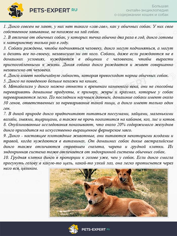 Интересные факты о диких собаках динго