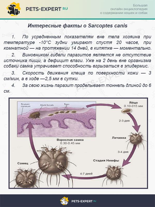 Интересные факты о Sarcoptes canis