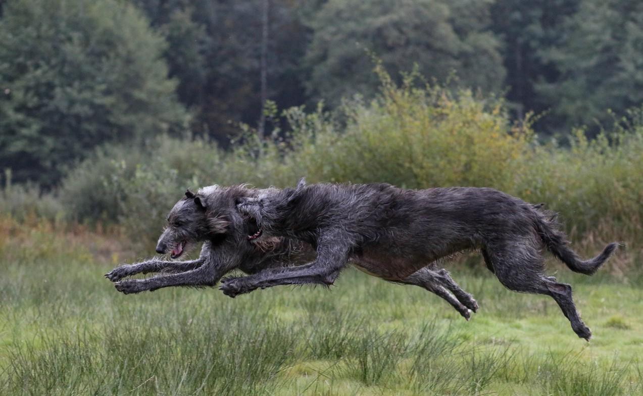 Ирландский волкодав - самая большая охотничья собака в мире