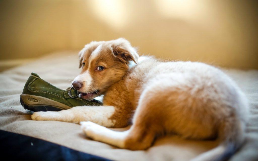 Исследование питомцами хозяйских ботинок может плохо закончиться