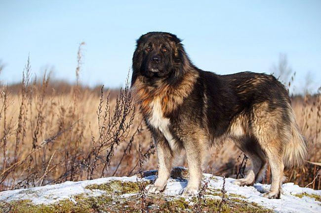 Кавказская овчарка - смелое, решительное, бесстрашное животное