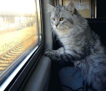 Как перевезти кошку в поезде