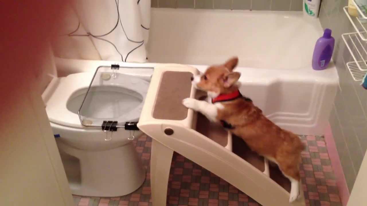 Как приучить чихуахуа к туалету