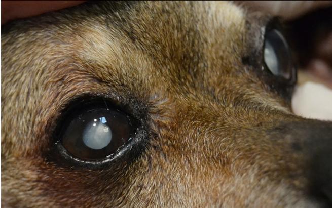 Катаракта у собак развивается в пожилом возрасте, и часто наследуется