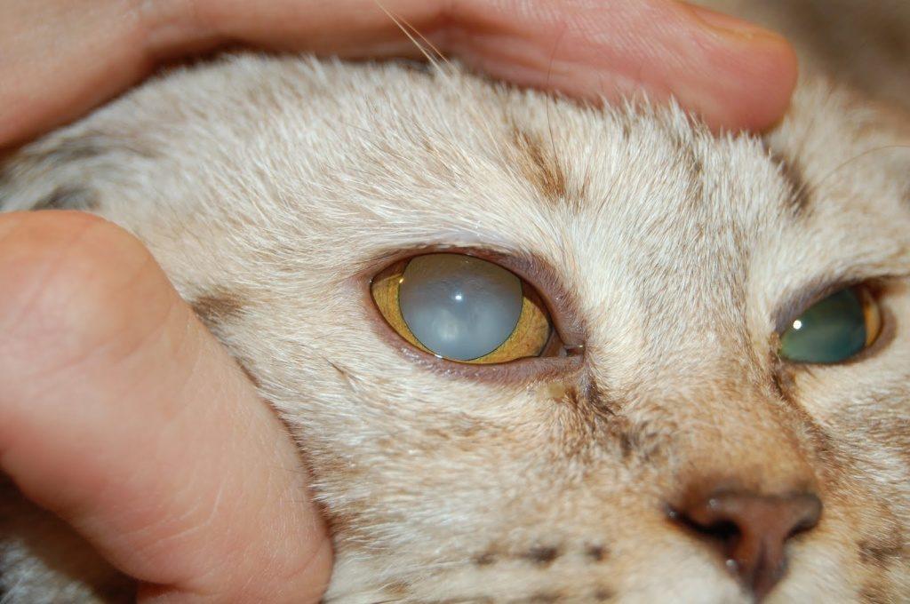 Катаракта является частой причиной помутнения глаза у кошек