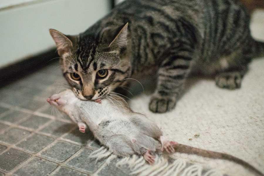 Кошки — настоящие охотники