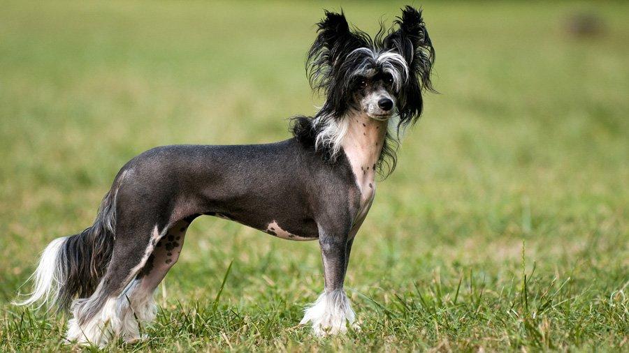 Китайская хохлатая собака считается оптимальным выбором для аллергиков