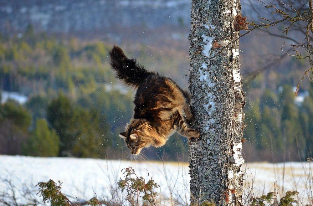 Когти являются незаменимыми помощниками диких котов в природных условиях