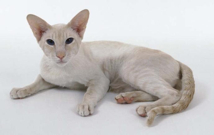 Количество существующих окрасов сиамских кошек постепенно растет