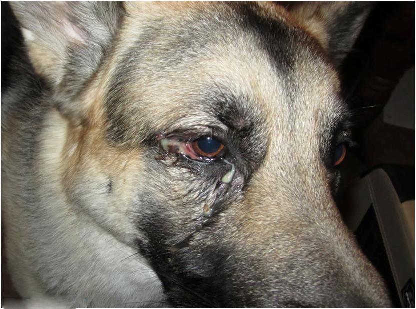 Конъюнктивит самое распространенное заболевание глаз у собак