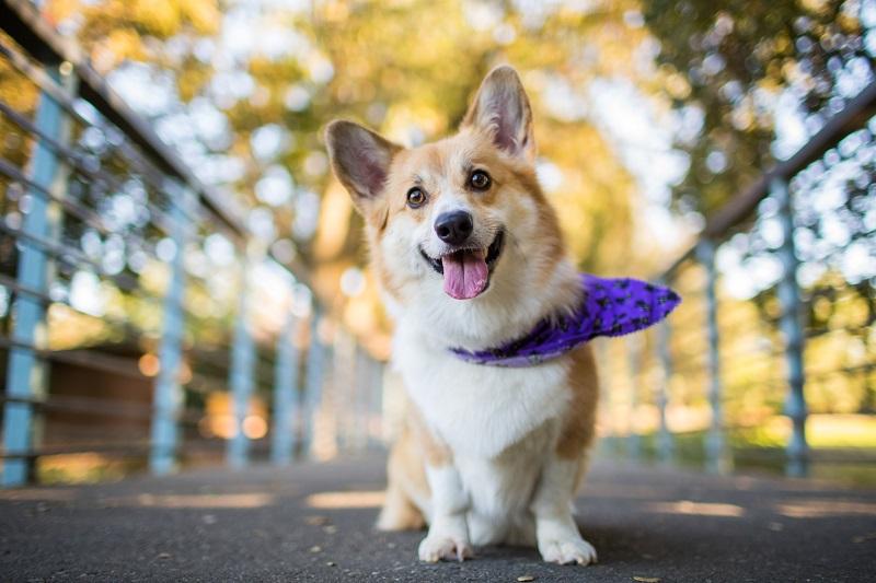 Корги смышленая собака для любой семьи