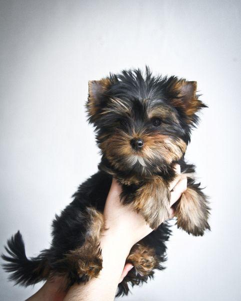 Коричневый щенок по мере взросления может стать темнее