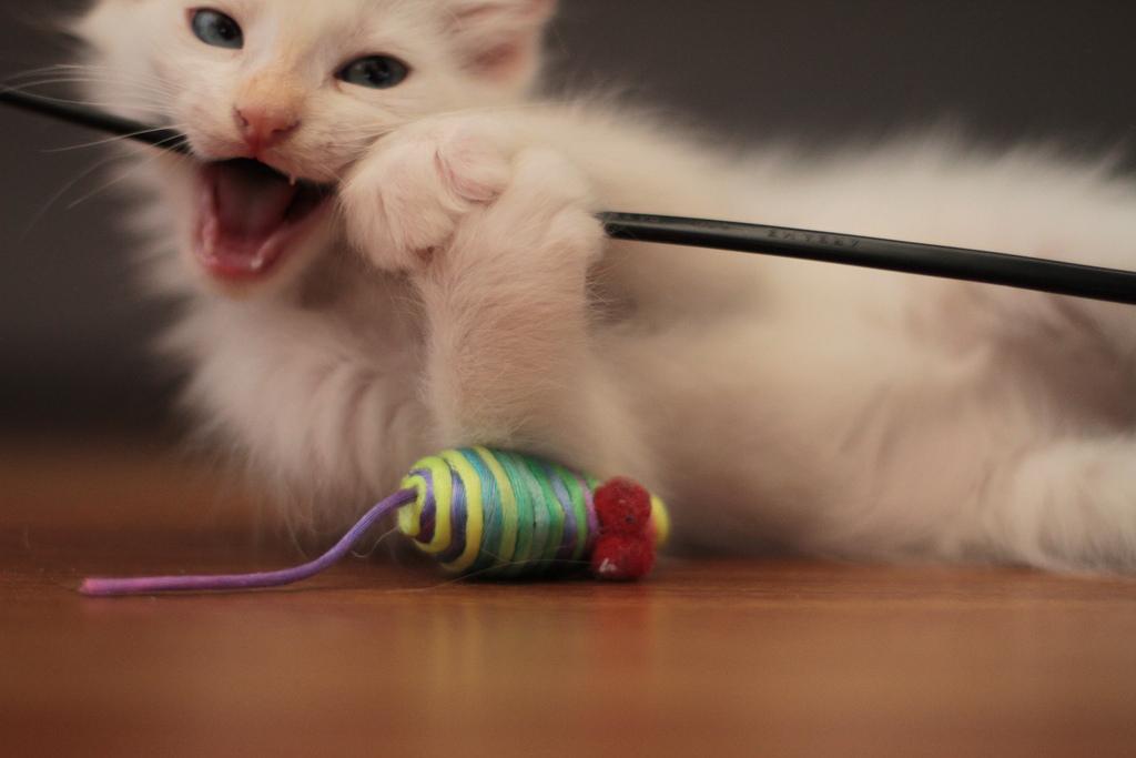 Организация игр с домашними кошками: аксессуары, правила, рекомендации