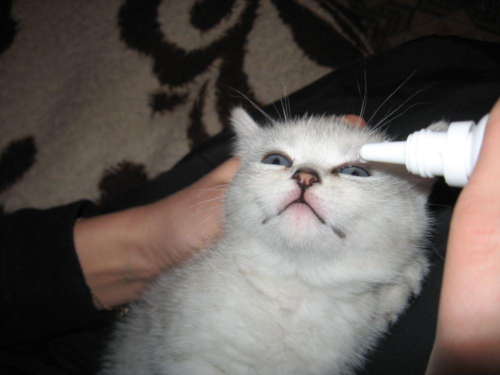 Коты редко переносят закапывание капель спокойно