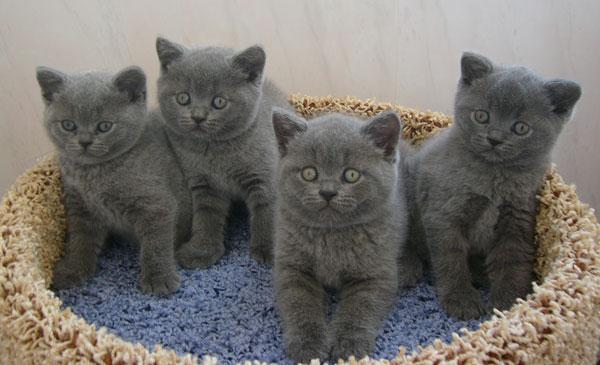 Котята британской короткошёрстной кошки
