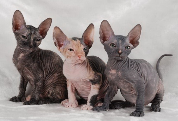 Котята донскогого сфинкса