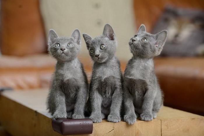 Кошка-корат