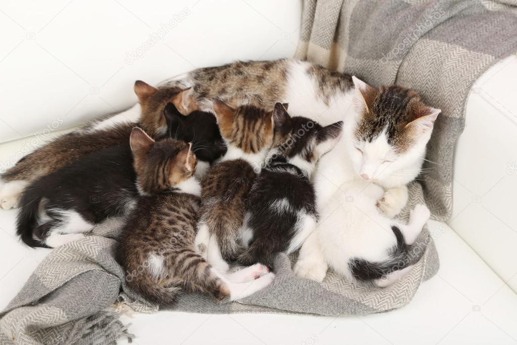 Котята рискуют заразиться вирусом через материнское молоко
