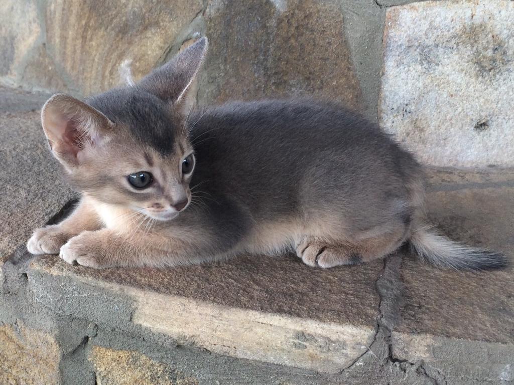 Котёнок абиссинский голубого окраса