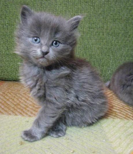 Котёнок породы нибелунг