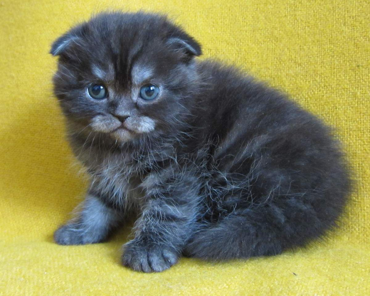 Котёнок шотландский дымчатый