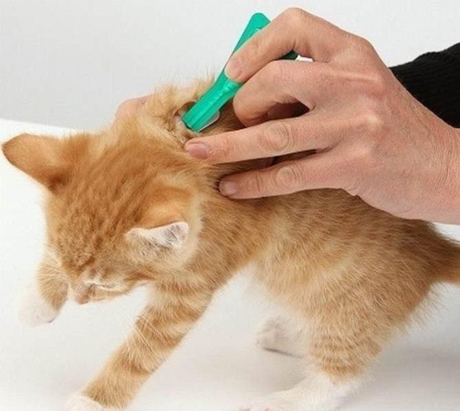 Обработка котёнка Фронтлайном, созданным для мелких животных