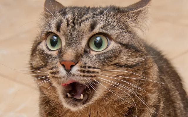 Кот во время использования органа Якобсона