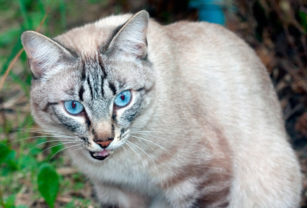 Кот в процессе анализа обонятельных сигналов