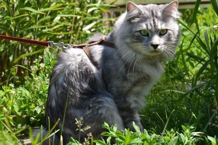 Кот на прогулке в шлейке