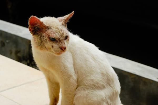 Кот пораженный нотоэдрозом