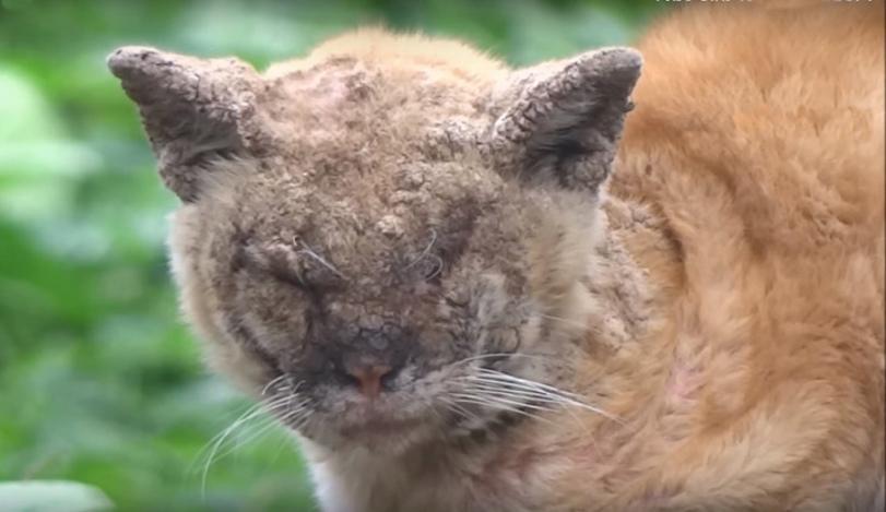 Кот с запущенной стадией нотоэдроза