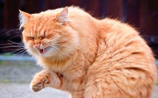 Кошачий кашель имеет несколько типов