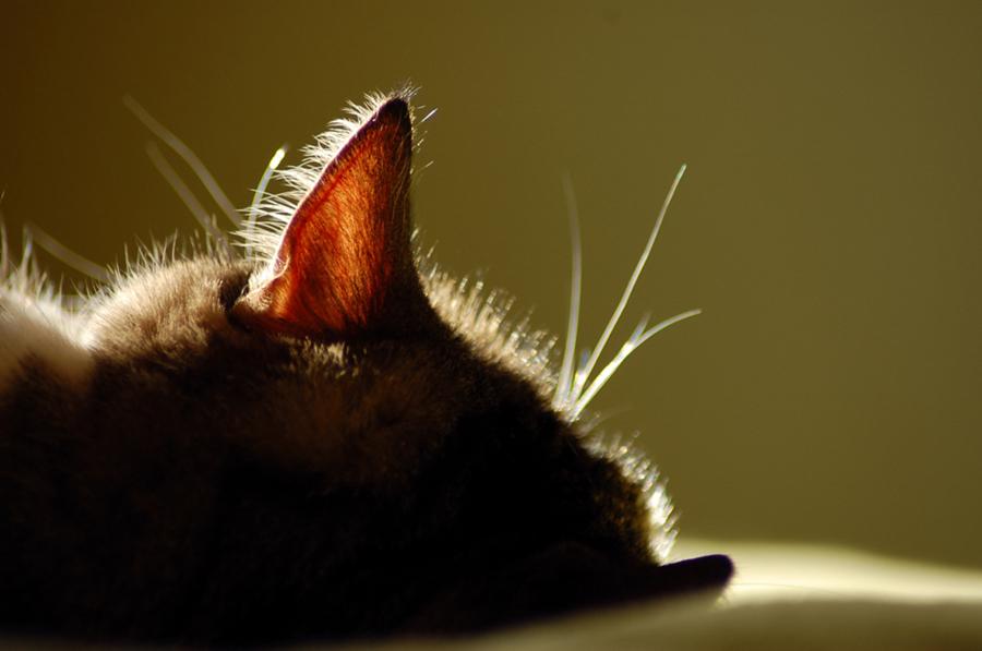 Кошачьи уши намного подвижней человеческих, что позволяет им быстрее улавливать звук
