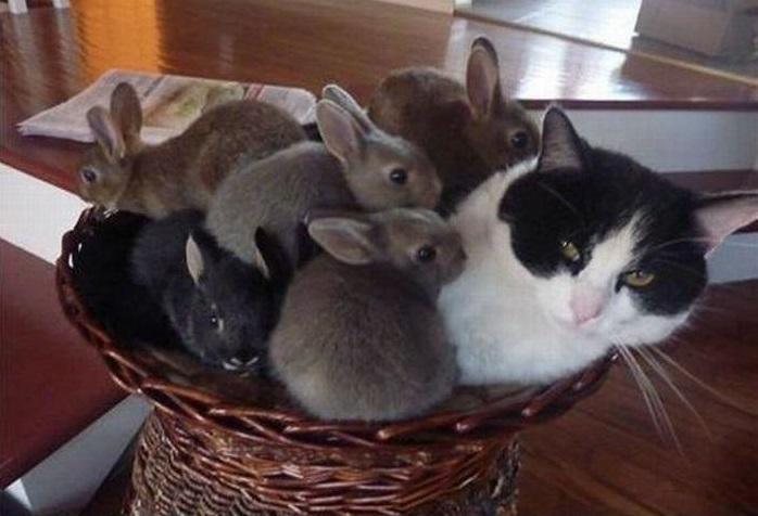 Кошка выкармливает крольчат