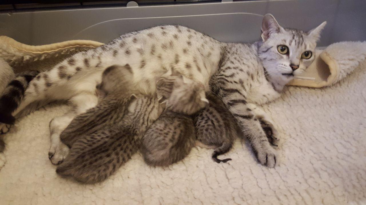 Кошка мау с котятами