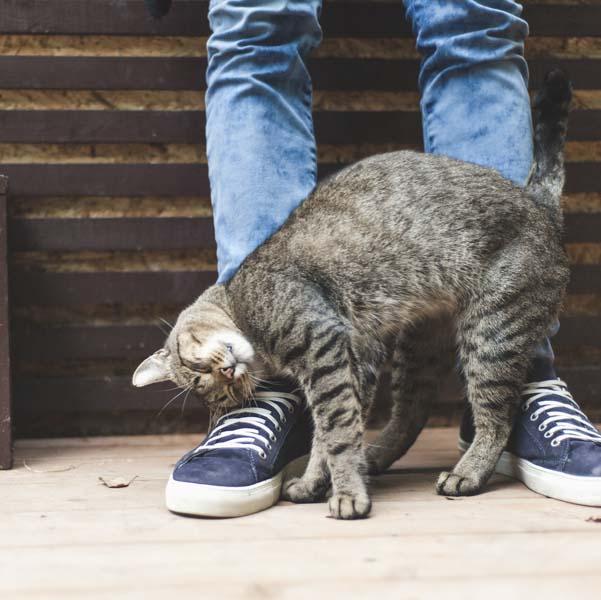 Кошка начинает тереться о ноги хозяина