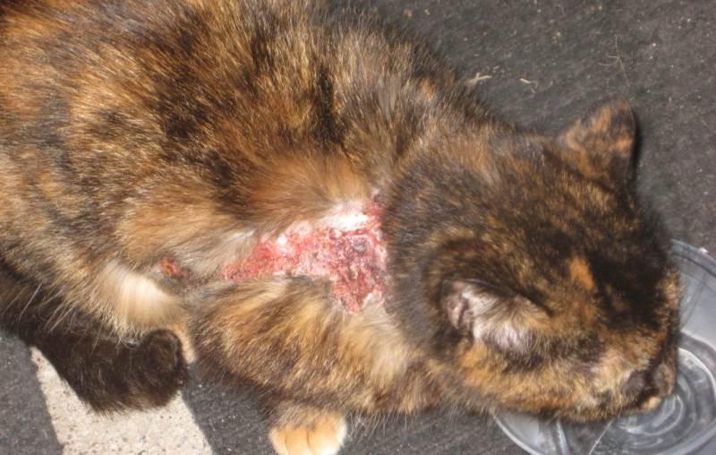 Кошка с авитаминозом