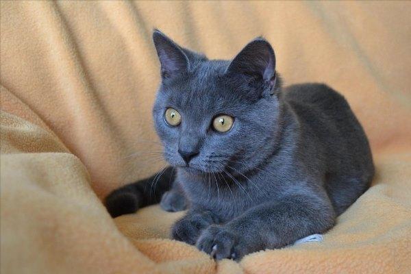 Кошка-шартрез