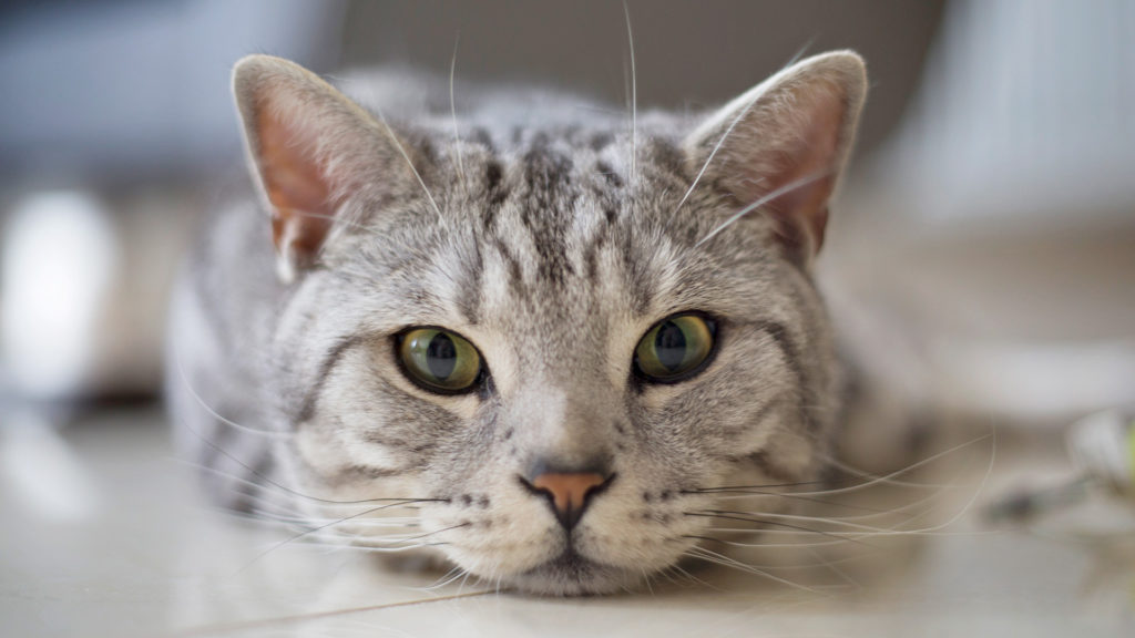 Кошки не демонстрируют своему хозяину наличие дискомфорта