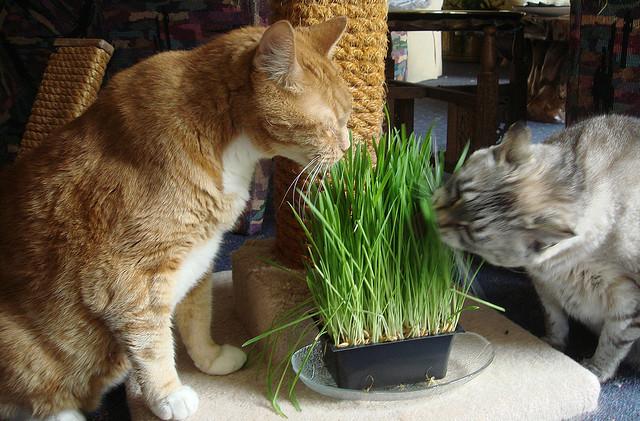 Кошки с удовольствием едят свежую зелень
