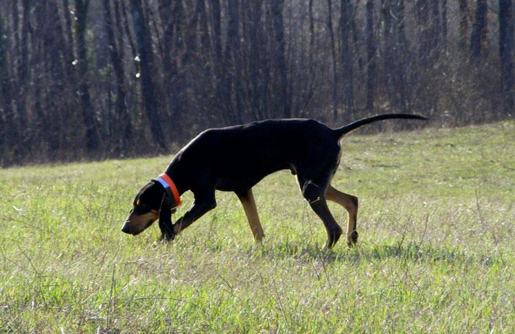 Кровь сегуджио течет в жилах многих представителей гончих собак