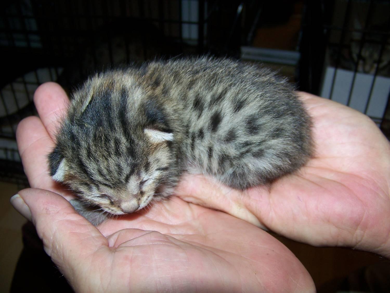 Крошечный котёнок египетской мау