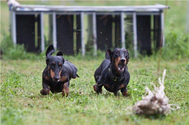 Курсинг норных собак
