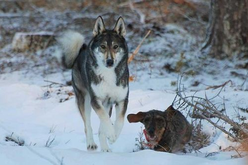 Лайка охотится в паре с жесткошёрстной таксой, охота на норного зверя