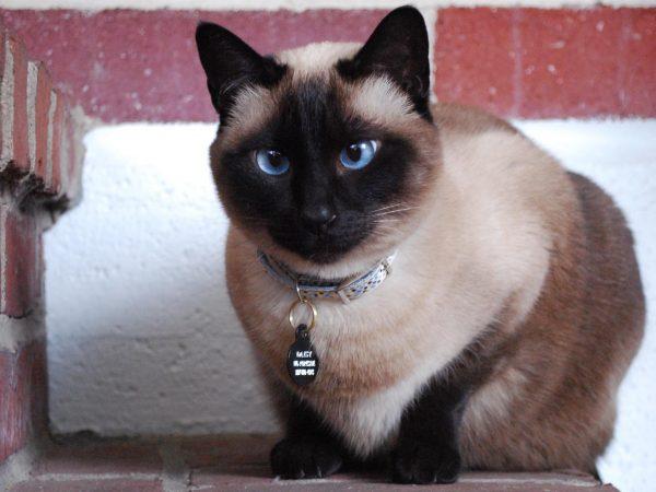 Легкое косоглазие придает изюминку сиамским котам