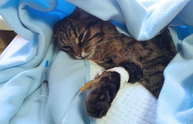 Лечение эндометрита у кошек лучше проводить в стационаре